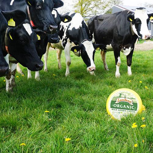 Landana Organic Gouda cheese